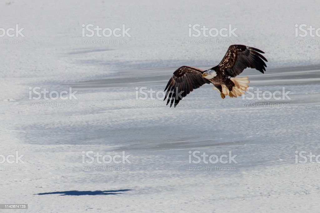 A Mature Bald Eagle about to land against a snowy background. stock photo