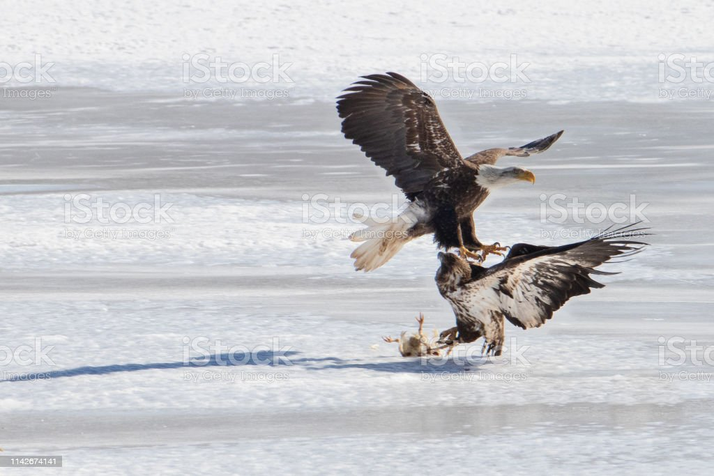 A Mature Bald Eagle attempts to steal a younger eagles meal. stock photo