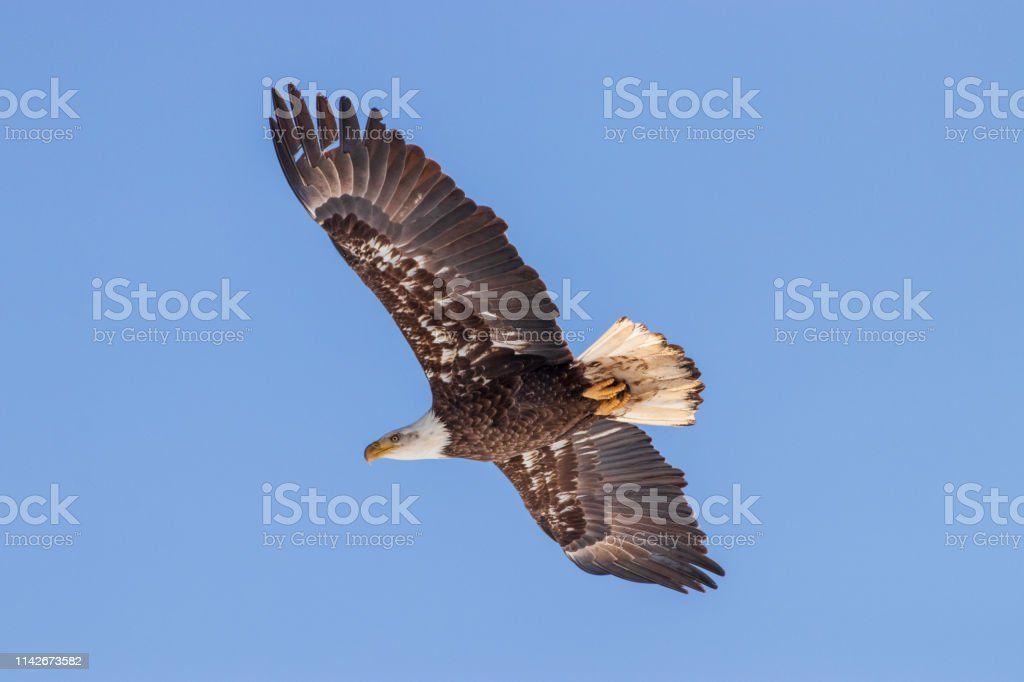 A Mature Bald Eagle flying against a blue background. stock photo