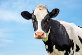 istock Mature black and white cow head, gentle look, pink nose, in front of  a blue sky. 1205758678