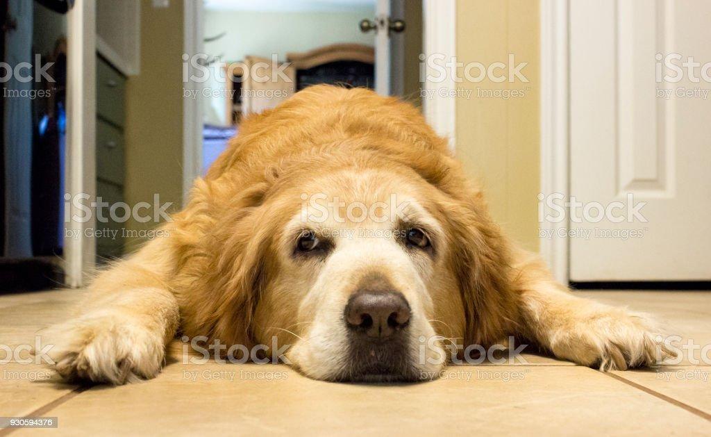 Mature, bored golden retriever resting on kitchen floor stock photo