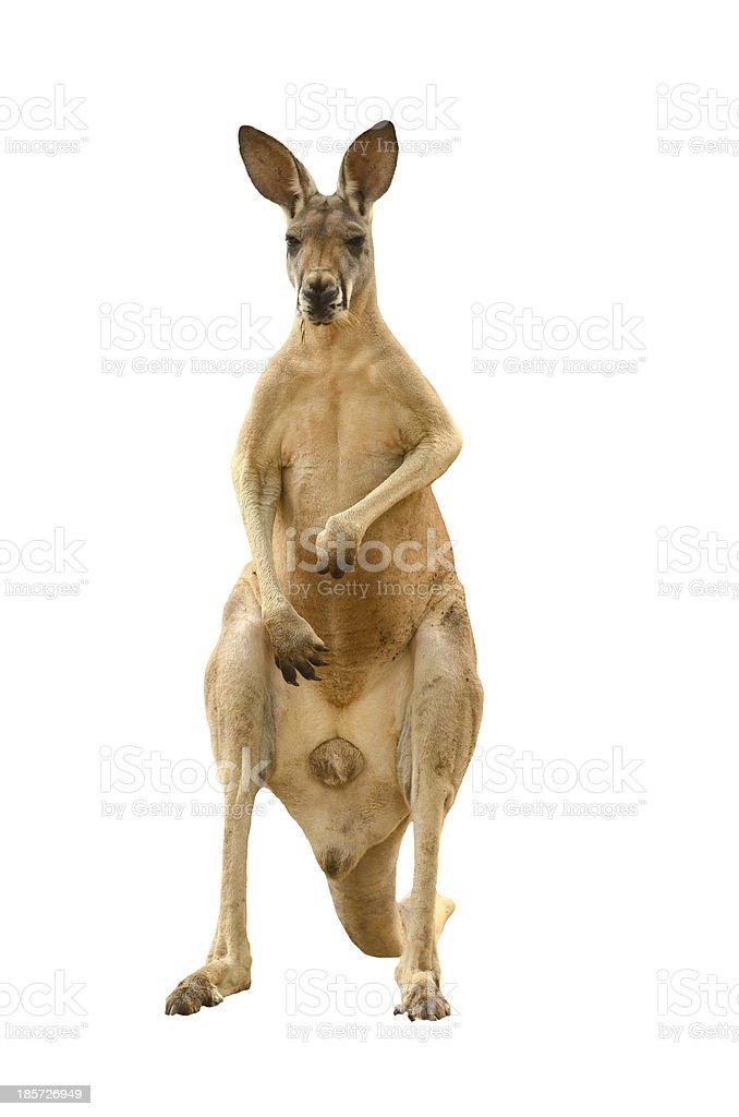 Mature brown kangaroo stood on its hind legs stock photo