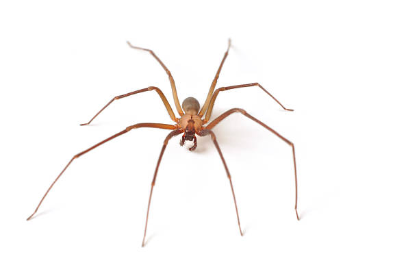 Mature Brown Recluse Walking Across a White Table stock photo