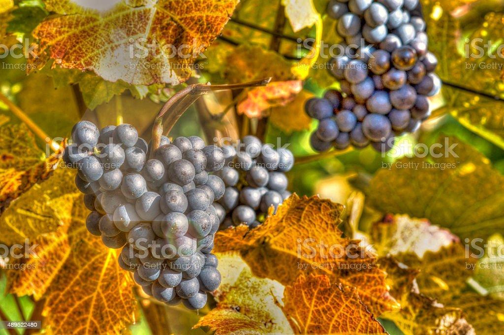 mature Burgundy grapes on a vine stock photo