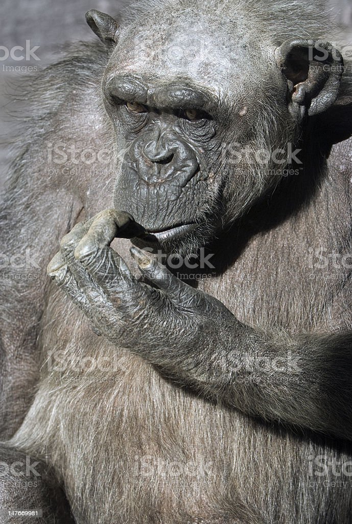 Mature chimpanzee biting his nails royalty-free stock photo