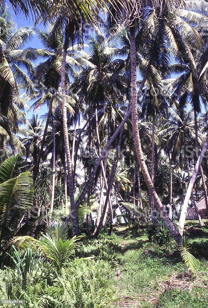 Mature Coconut Orchard or Grove Marshall Islands Micronesia stock photo