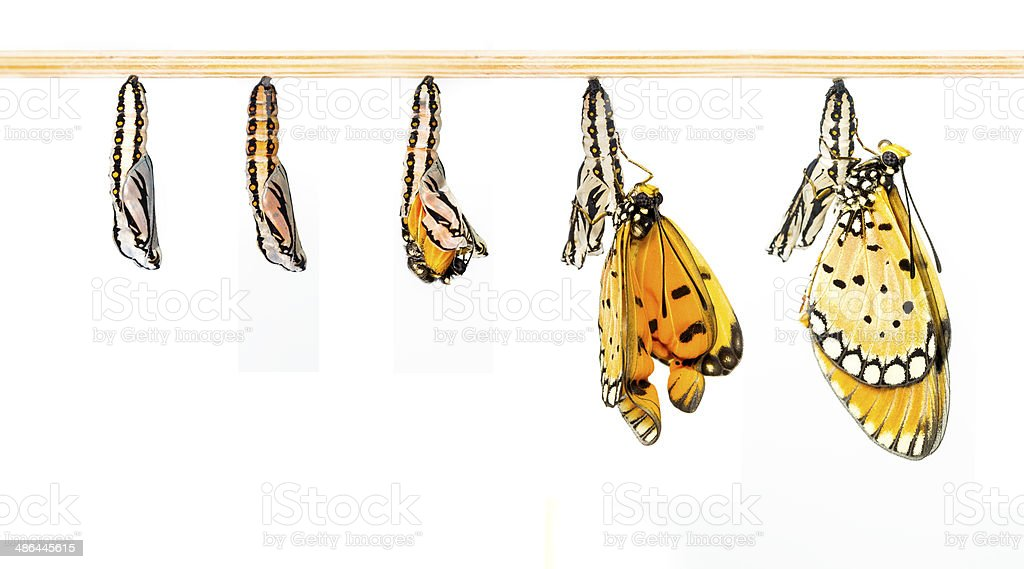 Mature cocoon transform to Tawny Coster butterfly stock photo