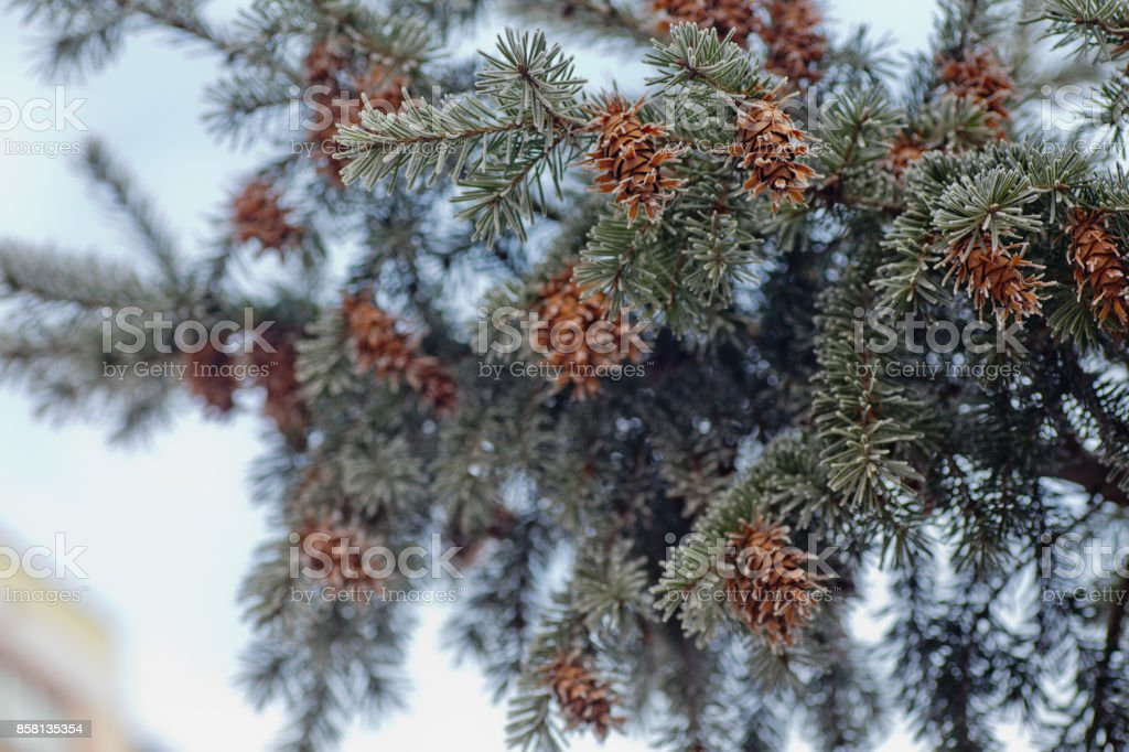 Picea Pungens Cone