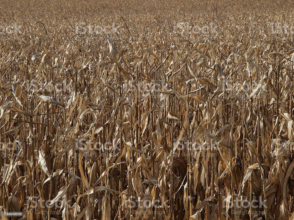 Mature Corn Field stock photo