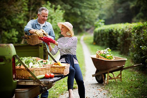mature couple with harvested vegetables in garden. - kruiwagen met gereedschap stockfoto's en -beelden