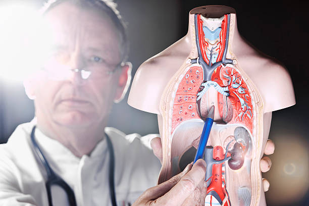 mature doctor pointing at oesophagus - oesofagale reflux stockfoto's en -beelden