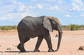 In Etosha national park a  mature elephant walks towards a nearby watering hole in Namibia, Africa.
