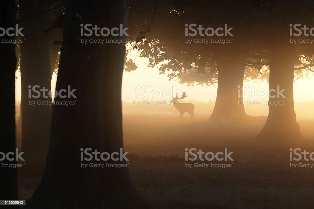 Fallow deer stag in misty woodland with orange sunbeam stock photo