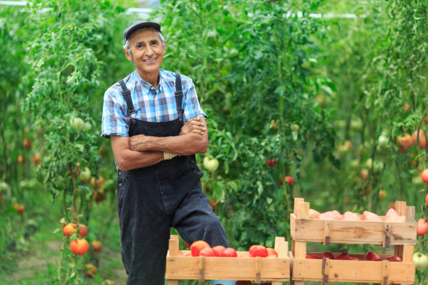 mature farmer collecting tomatoes - tomato field stock photos and pictures