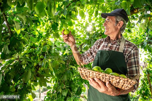 istock Mature farmer holding basket with green apples 997457914
