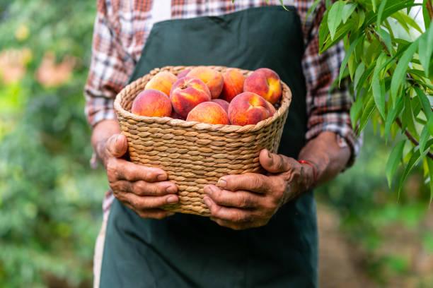 reifen bauer hält korb mit pfirsichen - peach stock-fotos und bilder