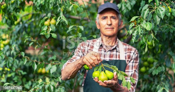 Mature farmer holding branch with pears, focus on the pears