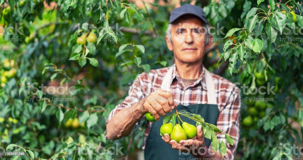 Reifen Bauer hält Zweig mit Birnen-Fokus auf die Birnen – Foto