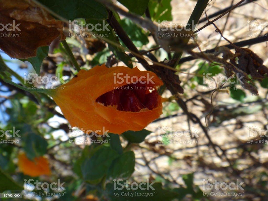 Mature fruit of saint cajetan's melon stock photo
