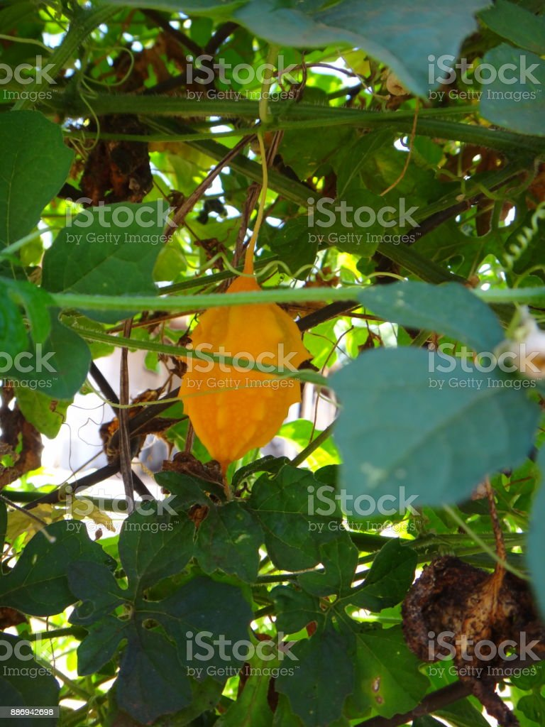 Mature fruit of saint cajetan's melon stock photo