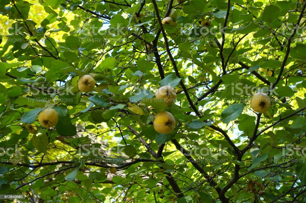 Mature fruits on the branches of quince tree stock photo