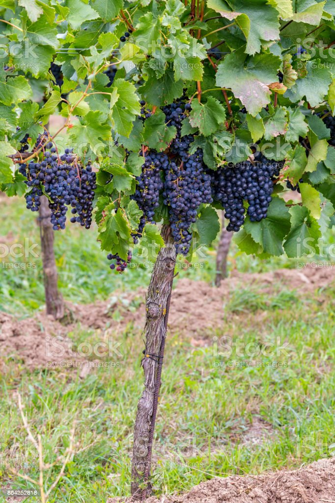 Mature grapes in autumntime in Austria, Burgenland royalty-free stock photo