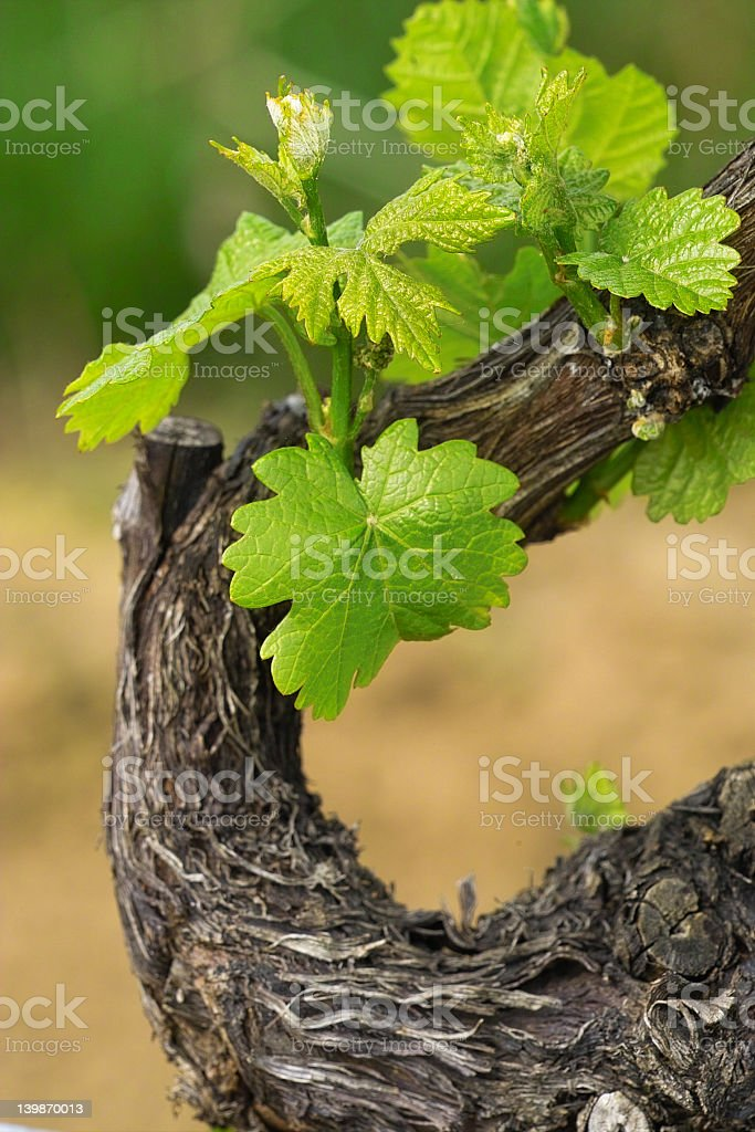A mature grapevine with leaves on a spring day stock photo
