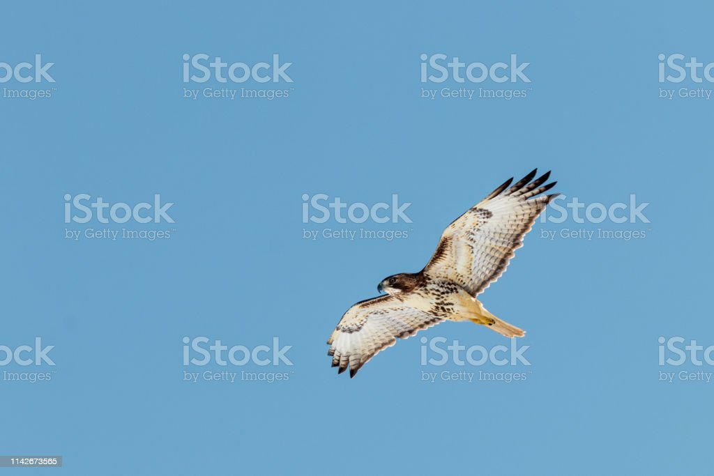 A Mature Hawk flying against a blue background. stock photo