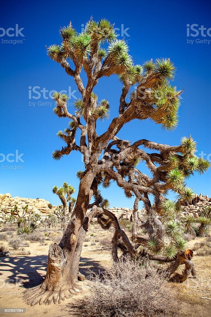 Mature Joshua Tree With Many Drooping Branches In Mid-Day Sun stock photo