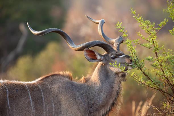 rijpe met grote gekrulde hoorns eten uit een doorn boom - antilope stockfoto's en -beelden
