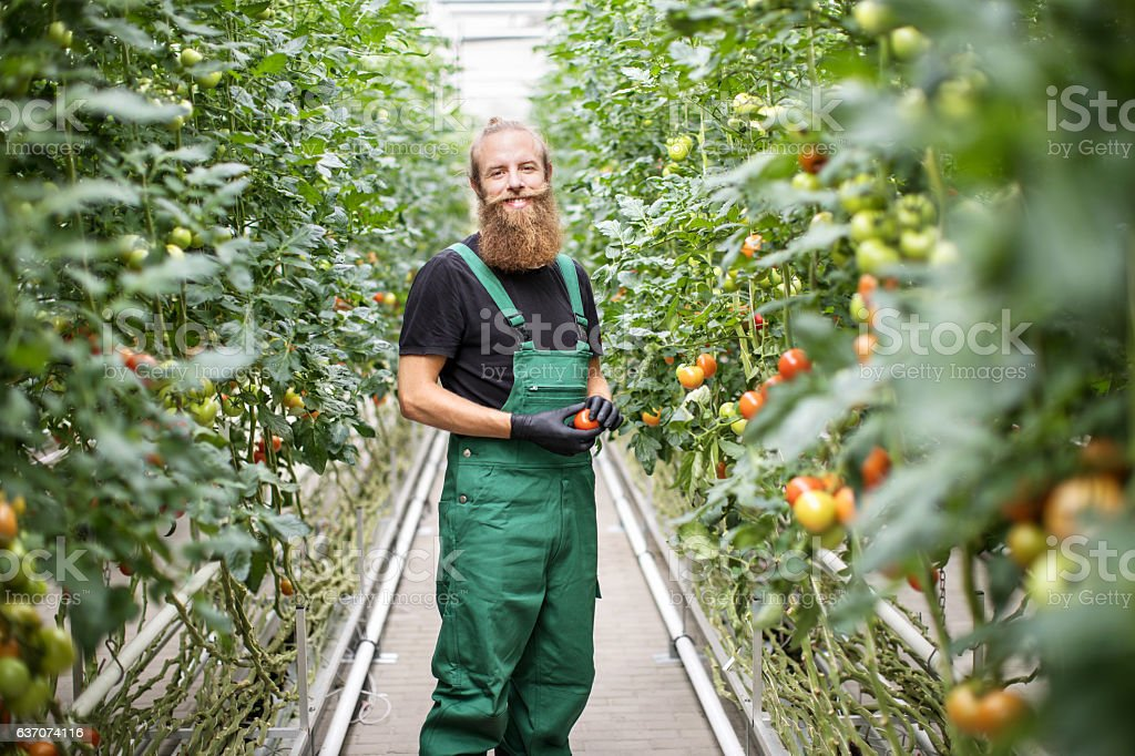 Mature male farm worker standing in greenhouse stock photo