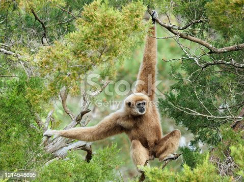 Beautiful Mature Male White Handed GibbonSwinging Through the Trees