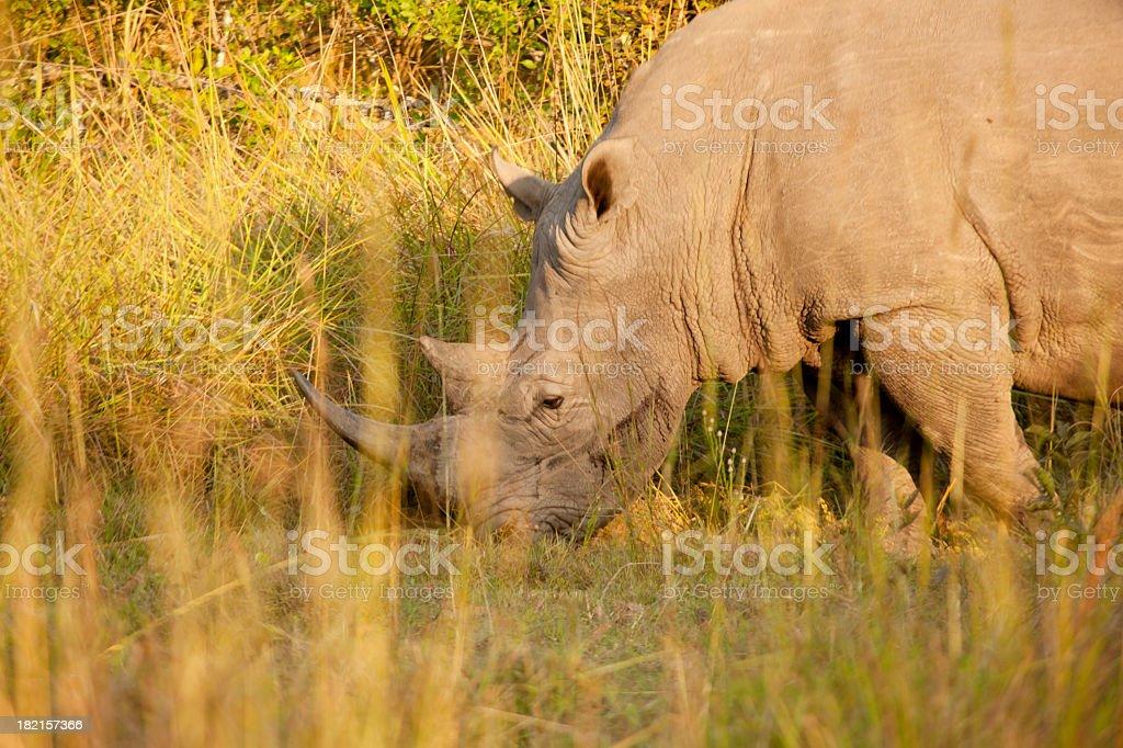Mature Male White Rhino - Bleeding royalty-free stock photo