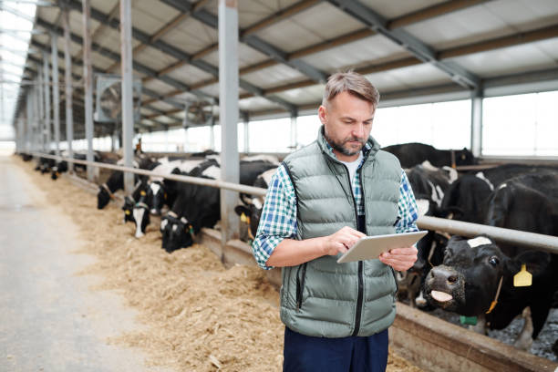 Mature male worker of contemporary animal farm using digital tablet Mature male worker of contemporary animal farm using digital tablet while searching for online information about new kinds of food for milk cows dairy farm stock pictures, royalty-free photos & images