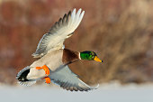 Drake Mallard in flight