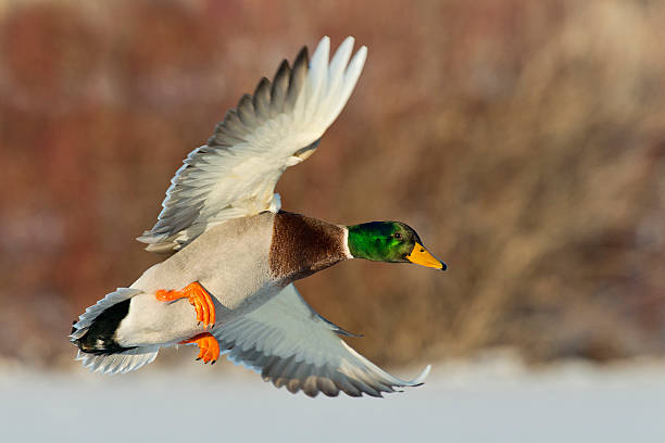 Mature mallard drake coming in for a landing Drake Mallard in flight water bird stock pictures, royalty-free photos & images