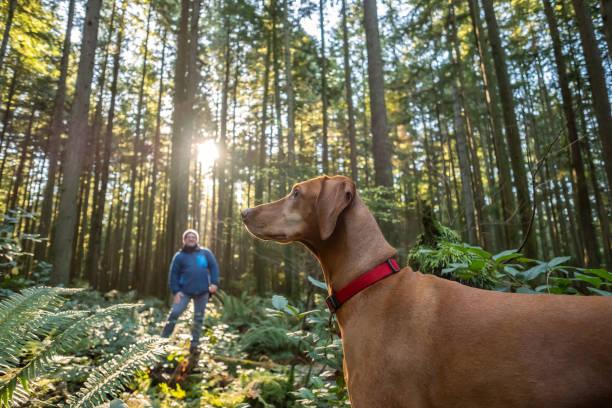 Mature Man Calling Vizsla Dog in Sunlit Autumn Forest stock photo