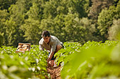 Man harvesting potatoes on field. Mature male with root vegetables on sunny day. He is wearing casuals.