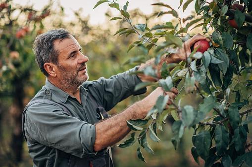 Senior man picking up apples in apple orchard