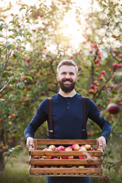 A mature man standing in orchard in autumn, holding a box full of apples. A happy mature man standing in orchard in autumn, holding a box full of apples. suspenders stock pictures, royalty-free photos & images