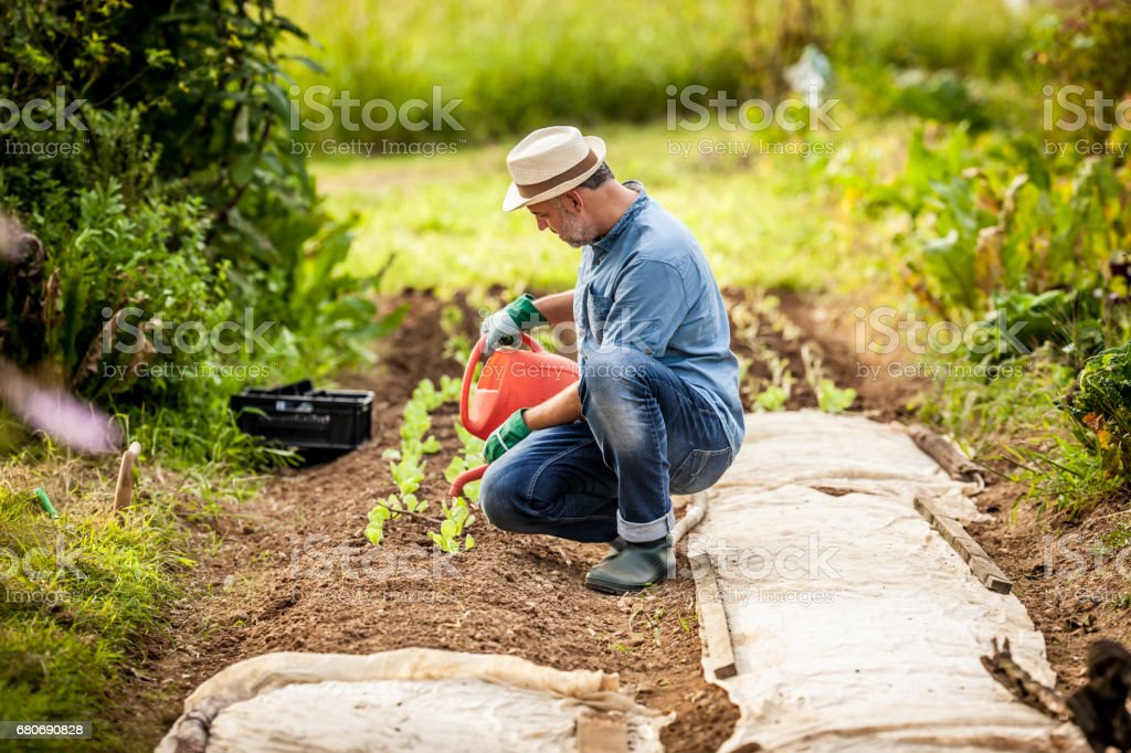Mature Man Working In His Vegetable Garden stock photo