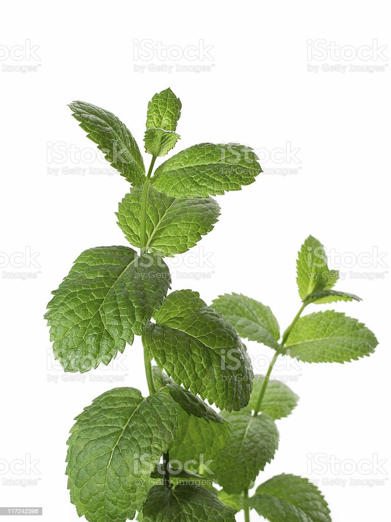 Mature mint plant with white in the background royalty-free stock photo