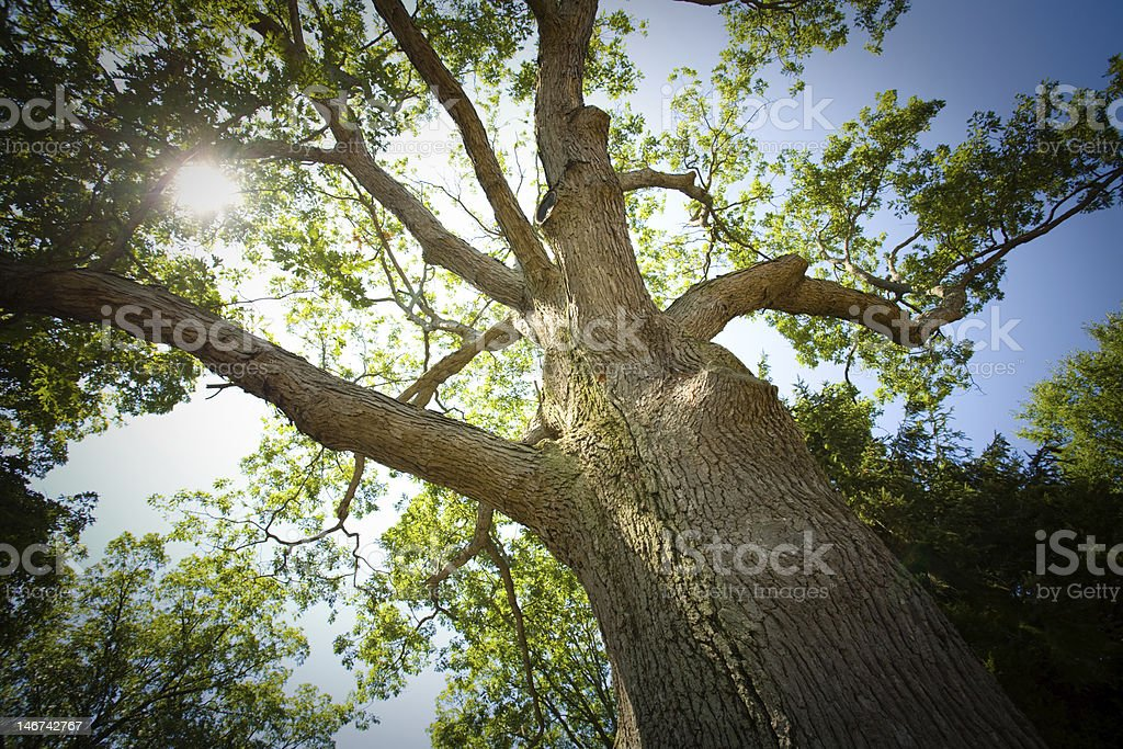 Mature oak tree - horizontal royalty-free stock photo