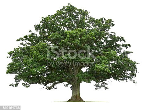 A mature oak tree isolated on a white background