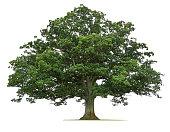 Mature Oak Tree Isolated On White Background