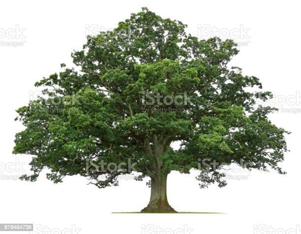 Mature oak tree isolated on white background picture id819464736?b=1&k=6&m=819464736&s=612x612&h=zsfl0r9vkx wqx87xif9qwirewsqcrlbixrpscdyzx4=
