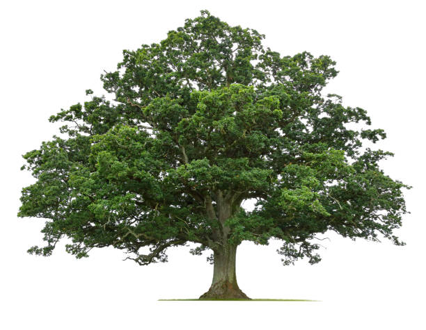 Mature Oak Tree Isolated On White Background stock photo