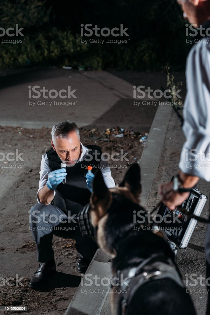 mature police officer in latex gloves showing evidence to german shepherd dog while his colleague standing near at crime scene stock photo