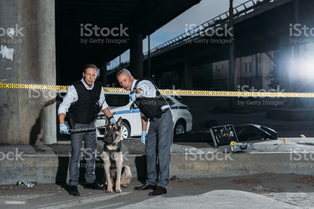 mature police officer pointing by finger to colleague with dog on leash near cross line at crime scene stock photo