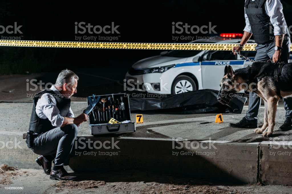 mature policeman putting on latex gloves near case for investigation tools while his colleague standing near with dog on leash at crime scene with corpse stock photo